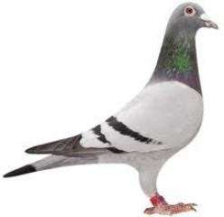 Racing Pigeons Homers