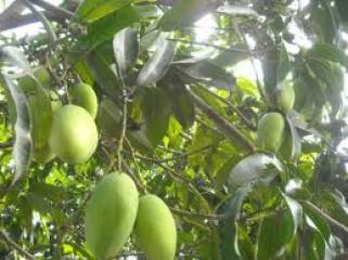 Mongo Mango Mango Langra