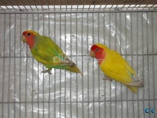 Lovebird breeding pair urgent sell