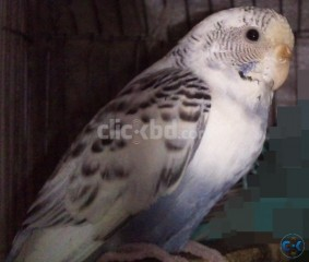 Full Adult Female Budgie Ressv. Pied 2 times bred