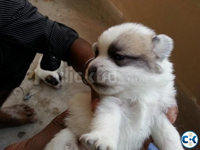 Russian Spitz puppies | ClickBD large image 0