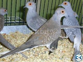 Diamond Dove Breeding Pair