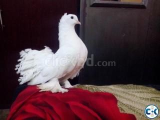 lakha pigeon