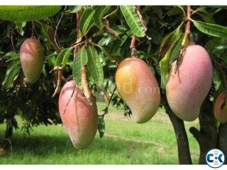 Mango without Chemical