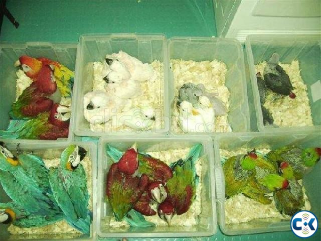 Hand Raised Baby Parrots And Parrots Eggs For Sale   ClickBD