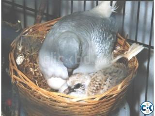 Australian Silver Diamond Dove