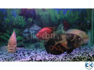 Giant 3 Tiger Oscar Fish and a Parrot Fish for Sell