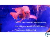 Top Quality super red arowanas fish and many other