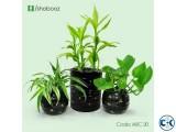 Golden Black Indoor plants