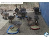 Ostrich Chicks and Guarantee Fertile Ostrich Eggs for sale.