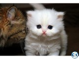 Class Clean White Teacup Persian Kittens for good homes