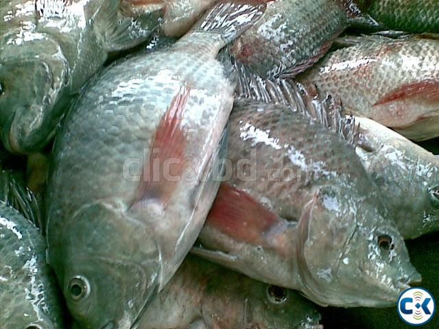 Fish fry macher pona for sale clickbd for Koi fry for sale
