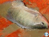 50 tons of cleaned and iced Telapia fish for sale