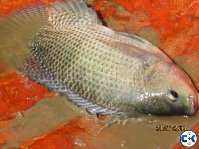 50 tons of cleaned and iced Telapia fish for sale | ClickBD large image 0