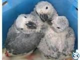 Parrots babies and fertile eggs available
