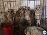 barn owl for sale