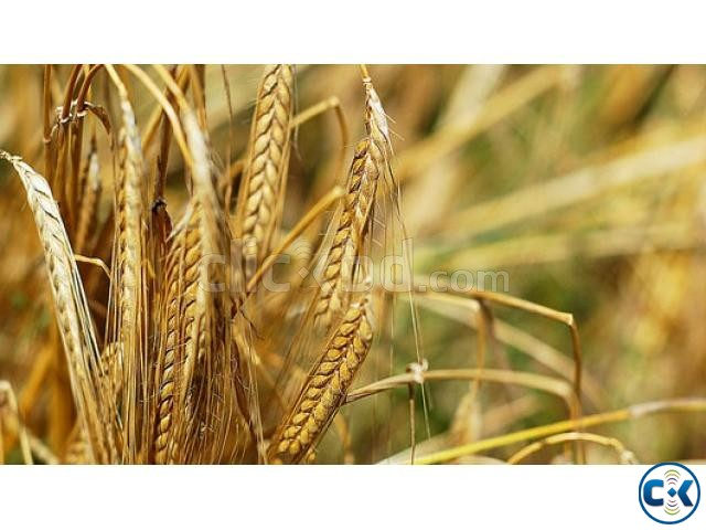Details about Organic Wheat Grass Wheat Berries Grains for | ClickBD large image 0