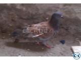 Baby Pigeon - Baccha Kobutor For Sell