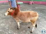 Bhuti cow for Sale
