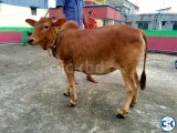 Bhutti Cow for sale