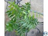 NEEM TREE PLANT