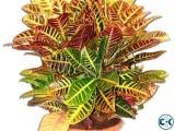 CROTON PLANTS PATABHAR