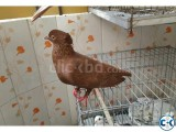 Recessive Red Pigeon Baby Pair for sale.