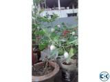 White brinjal seed