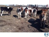 jerseys bottle calves for sale