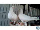 White Homa Pigeon Running Pair For Sell
