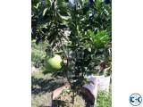 Jambura Pamelo Tree with fruits.