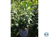 ORANGE MALTA TREE WITH FRUITS..