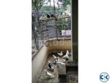 Lots of Healthy Adult Running Gola and Giribaj Mixed Pigeons