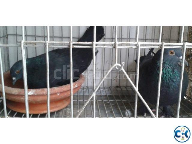 Black Jolsha Homa Master Pair | ClickBD large image 0