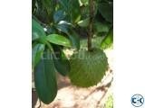 Soursop Guanabana Plant