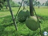 ......mango Himshagor