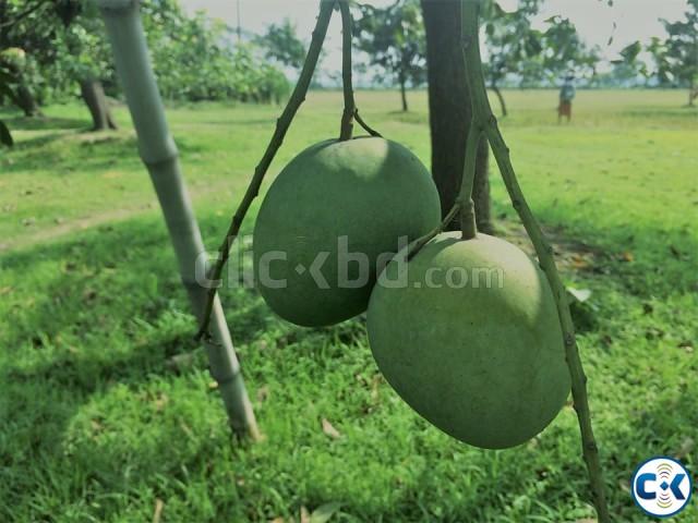 ......mango Himshagor  | ClickBD large image 0