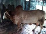 Deshi Shar 01857018033