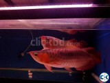 Magnificent RTG Arowana Golden Arowana Asian Arowana Red Aro