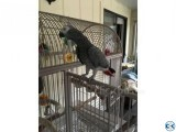 African Grey Congo Parrots and birds eggs for sale