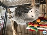 African Grey Parrots Ready for any Lovely home