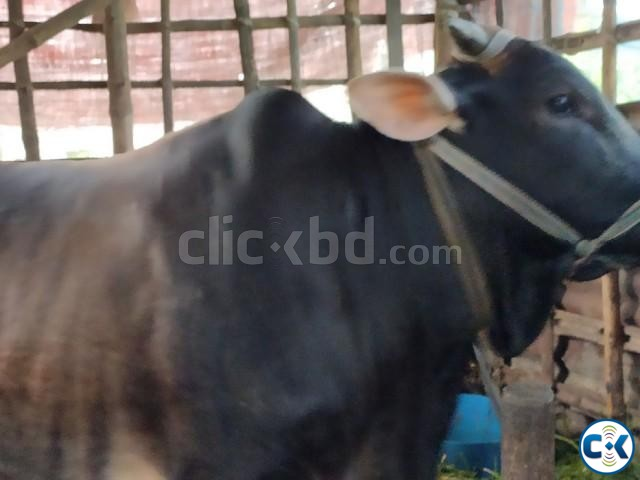 Get 100 pure deshi cows | ClickBD large image 0