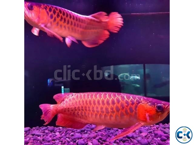 Super Red Arowana | ClickBD large image 0