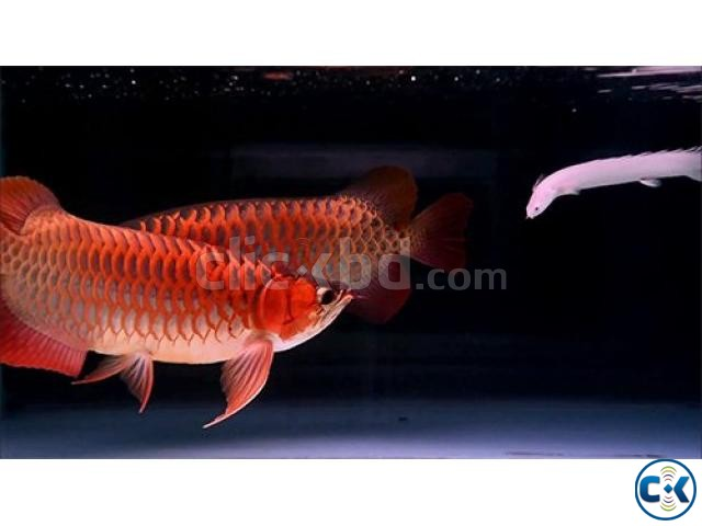 Super Red Arowana | ClickBD large image 1