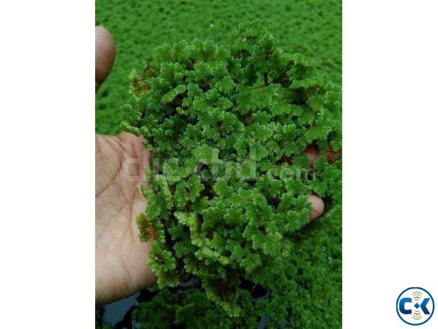 Azolla plant seed BD | ClickBD large image 0