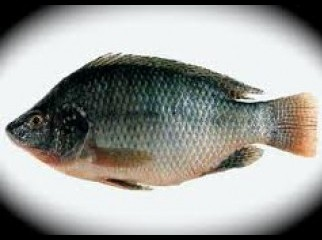Monosex Tilapia Pona fry want to sale