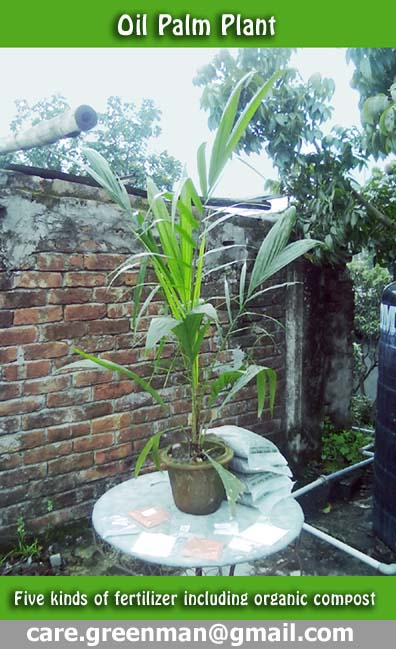 Palm Oil Tree Plant in Bangladesh 01717671667 | ClickBD large image 0
