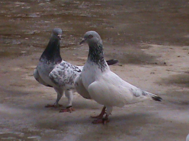 largewing hiflyer tippler pigeon | ClickBD large image 0