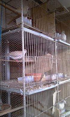 urgent sell 7 pairs thailand dove with 8 cages | ClickBD large image 0