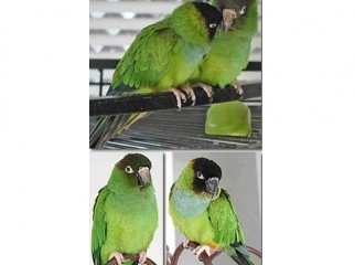 Nanday Conure breeding Pair